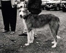 Old Deerhound Sheepdog Puppy