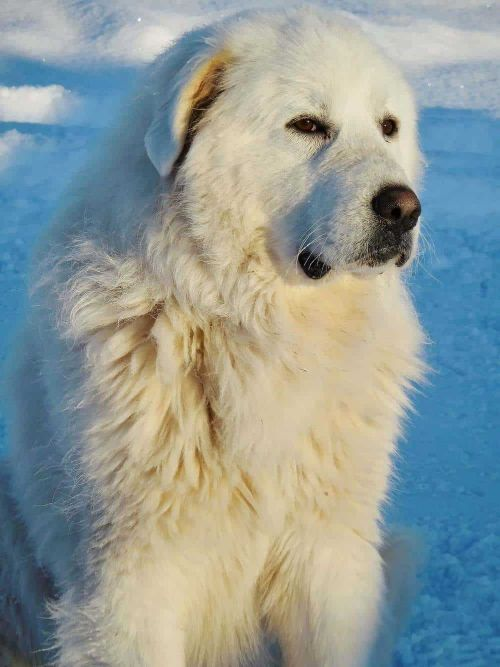 Male Great Pyrenees Dog Names