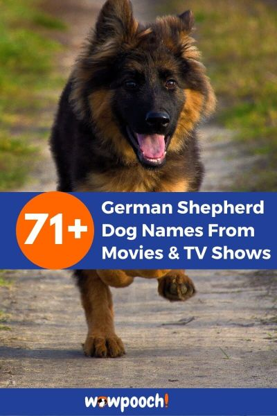 71+ German Shepherd Dog Names From Movies And TV Shows