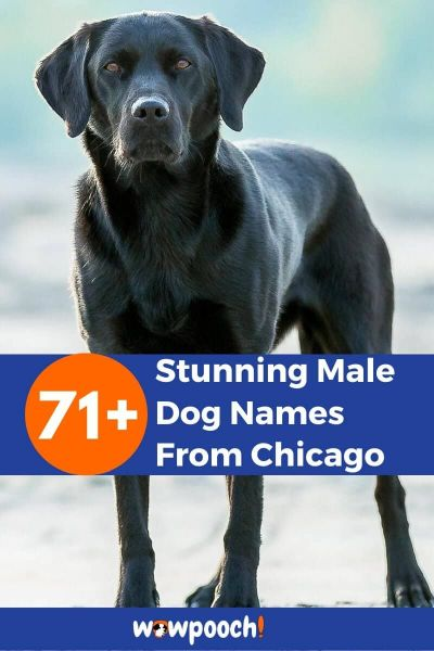 71+ Male Dog Names From Chicago