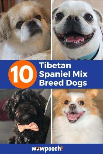 10 Tibetan Spaniel Mixes