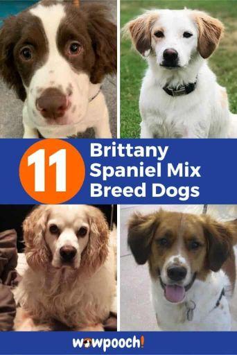 11 Best Brittany Spaniel Mixes
