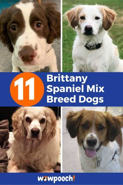 11 Best Brittany Spaniel Mixes
