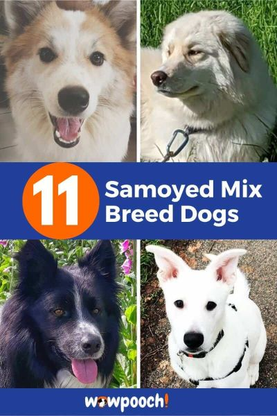 11 Samoyed Mixes