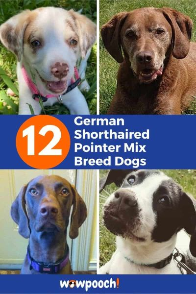 12 German Shorthaired Pointer Mixes