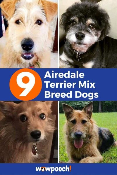 9 Airedale Terrier Mixes