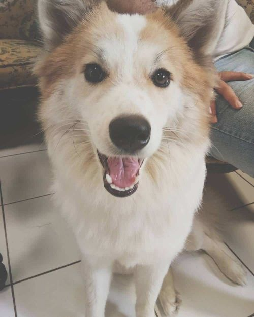 Samoyed Corgi Dog