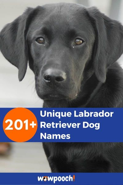201+ Unique Labrador Retriever Dog Names