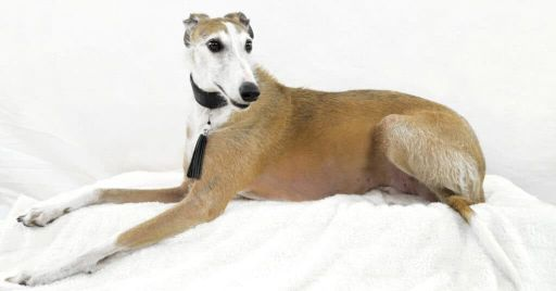 Why Do Greyhounds Lick Themselves