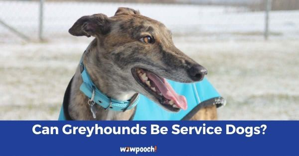 can greyhounds be service dogs