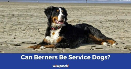 Are Bernese Mountain Dogs Good Service Dogs