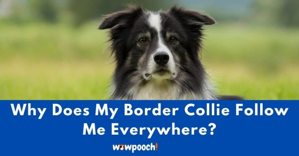 why does my Border Collie follow me around everywhere