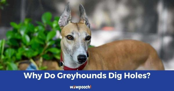 Why Do Greyhounds Dig Holes