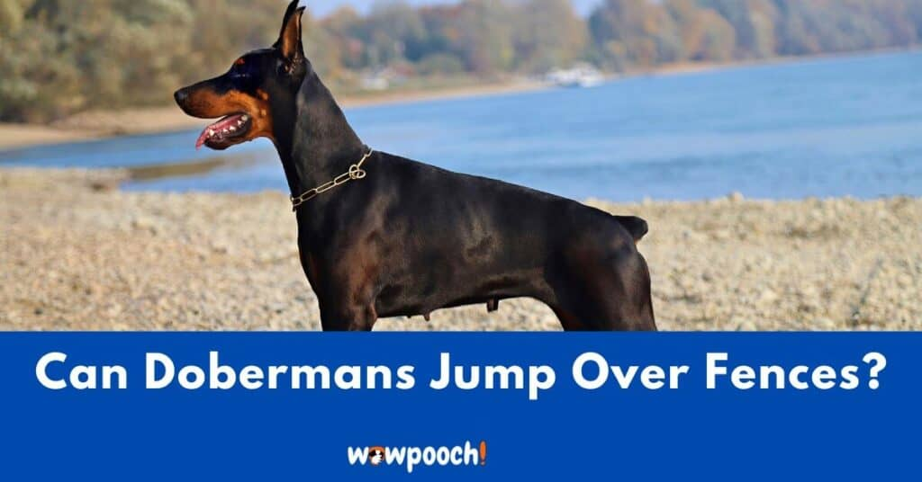 Can Doberman Pinschers Jump Over Fences? 13 Ways To Keep Your Doberman From Jumping Fences