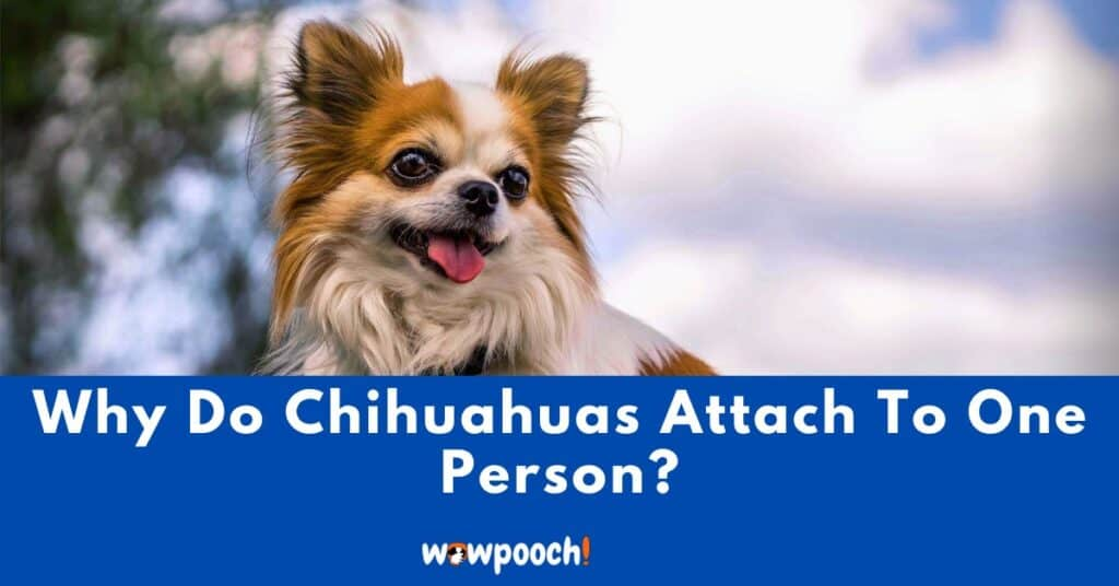 Why Do Chihuahuas Attach To One Person