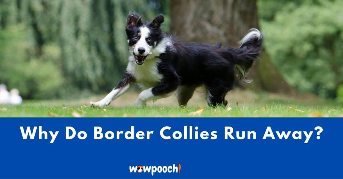 Why Does My Border Collie Tend To Run Away? 12 Reasons To Know