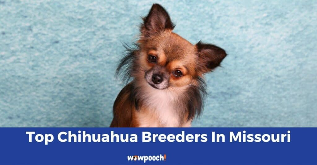 Top 11 Best Chihuahua Breeders in Missouri (MO) State