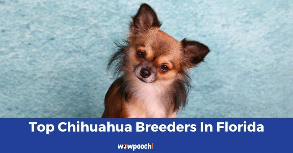 Top 12 Best Chihuahua Breeders In Florida (FL) State