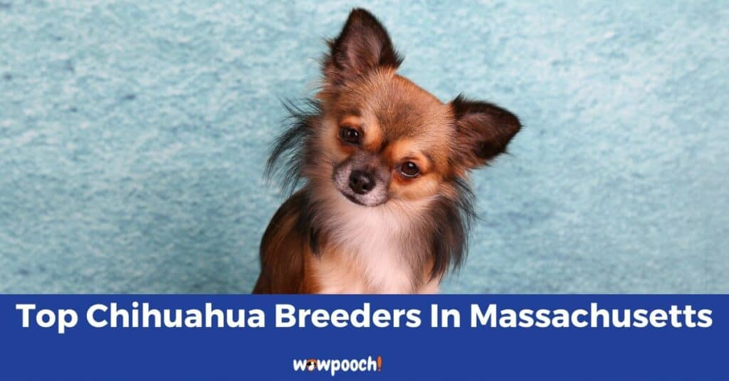 Top 5 Best Chihuahua Breeders In Massachusetts (MA) State
