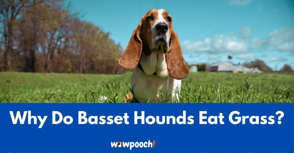 Why Do Basset Hounds Eat Grass? 7 Possible Reasons To Learn!