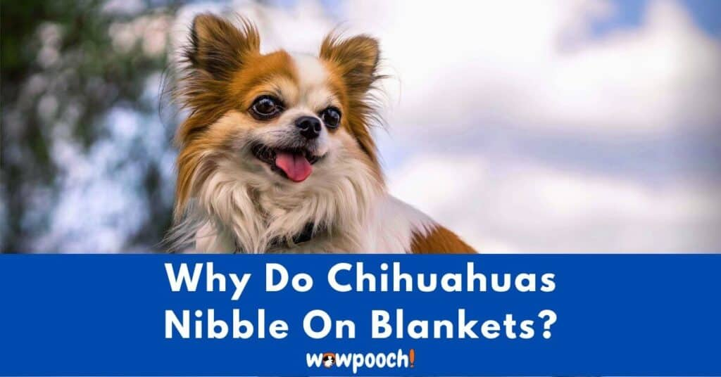 Why Do Chihuahuas Nibble On Blankets?