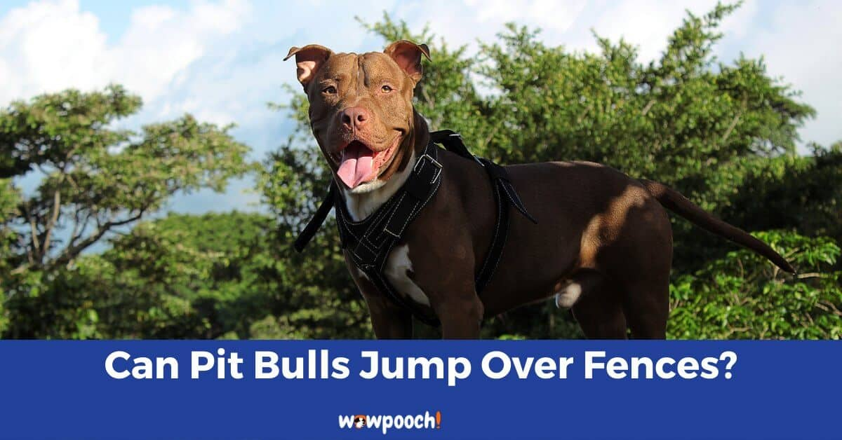 Can Pit Bulls Jump Over Fences?
