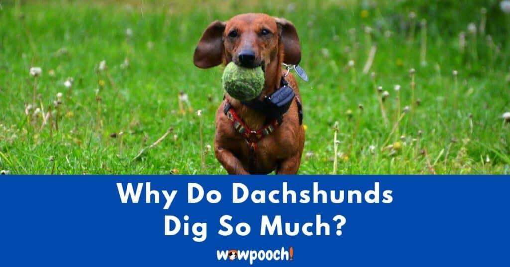 Why Do Dachshunds Dig So Much?