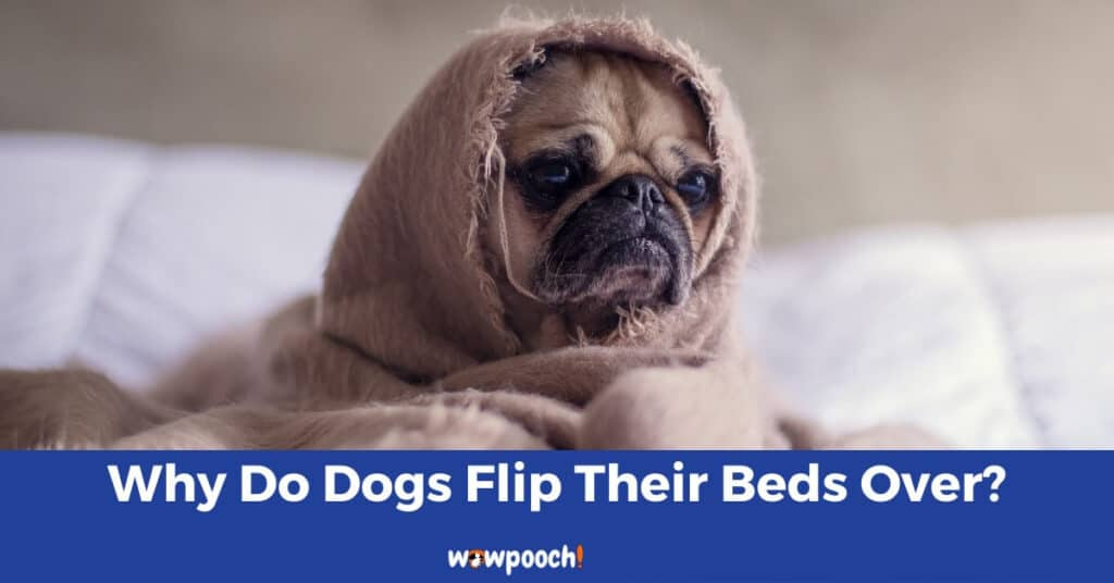 Why Do Dogs Flip Their Beds Over?