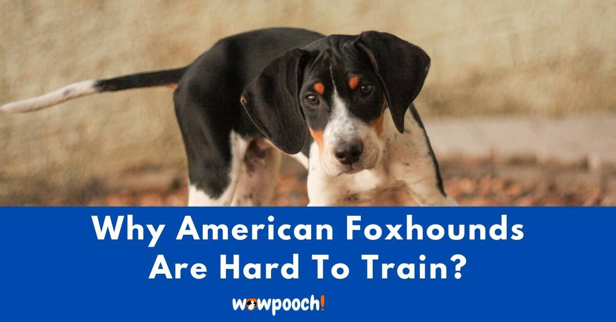 Why American Foxhounds Are Hard To Train?