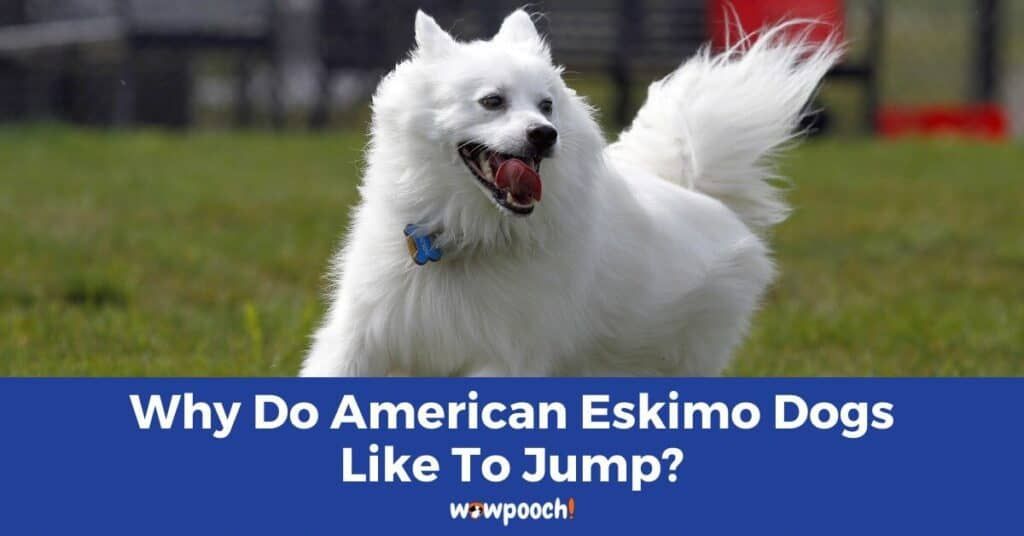 Why Do American Eskimo Dogs Like To Jump