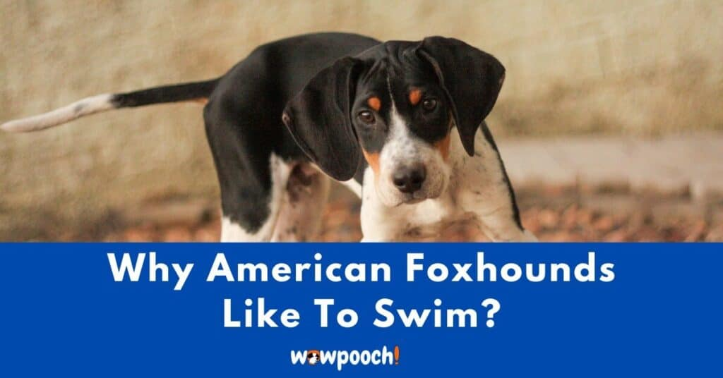 Why Do American Foxhounds Like To Swim?