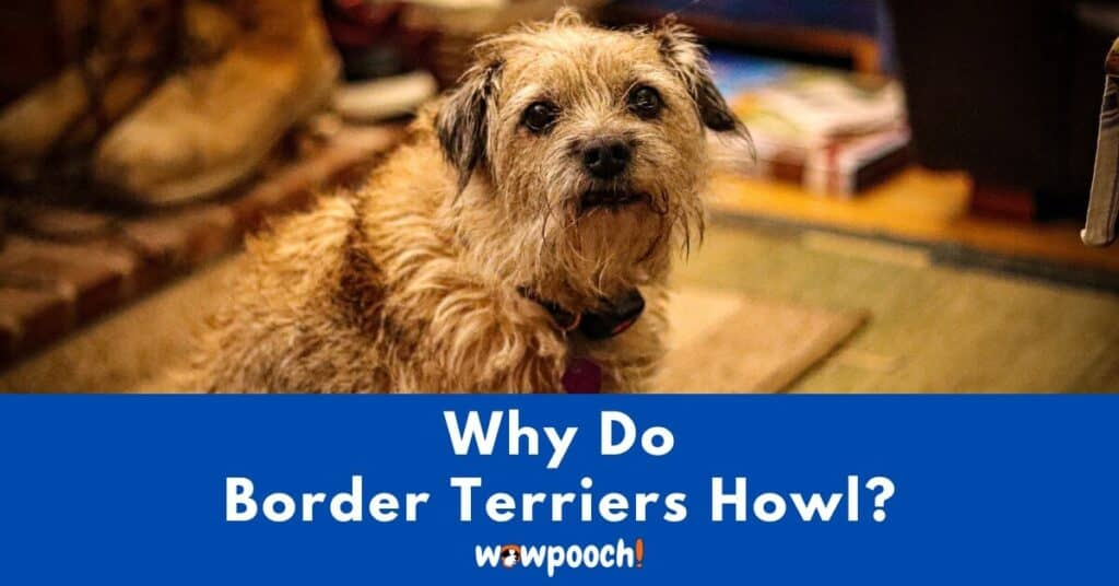 Why Do Border Terriers Howl?