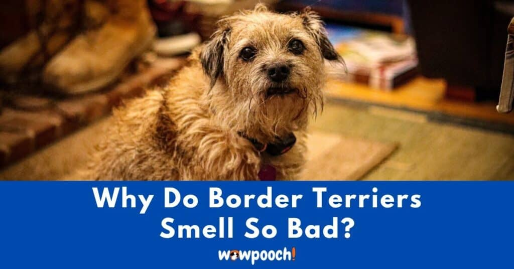 Why Do Border Terriers Smell So Bad?
