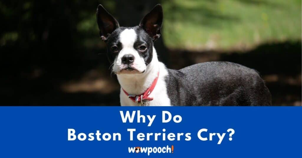 Why Do Boston Terriers Cry?