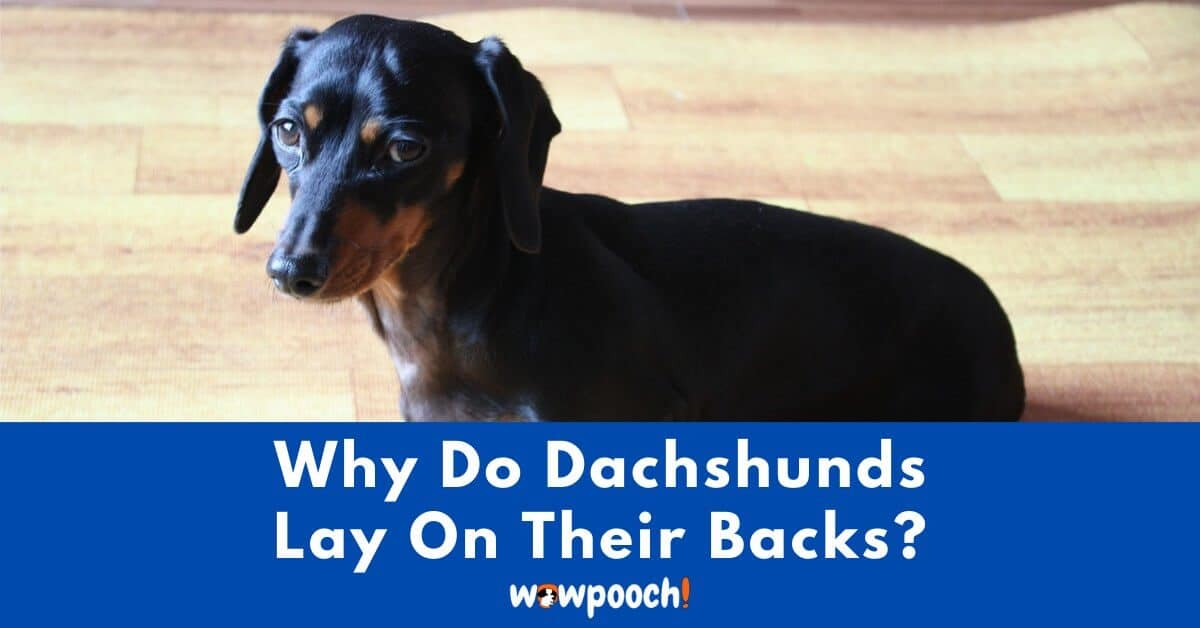 Why Do Dachshunds Lay On Their Backs?