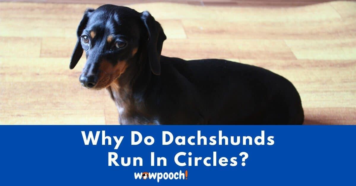 Why Do Dachshunds Run In Circles