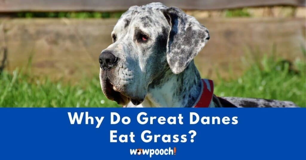 Why Do Great Danes Eat Grass?