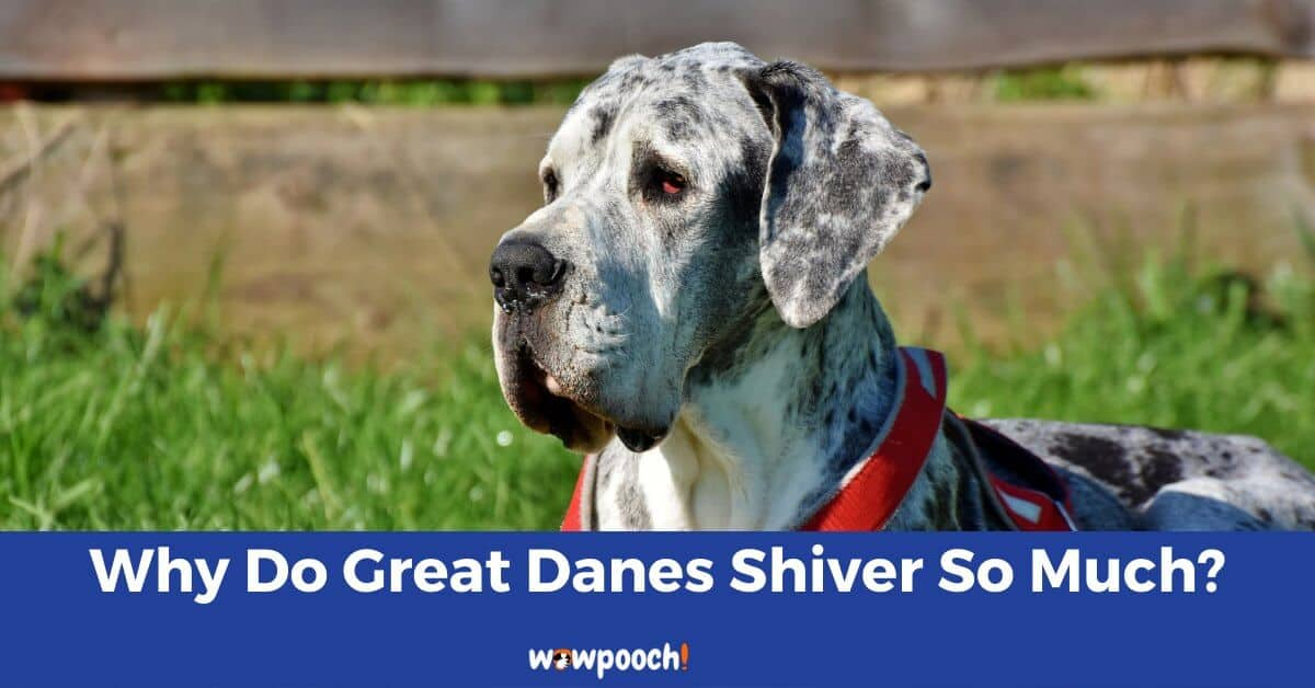Why Do Great Danes Shiver