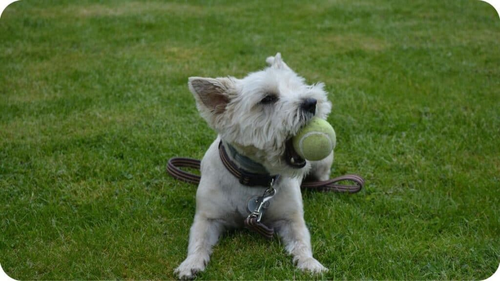 Cairn Terrier Playing