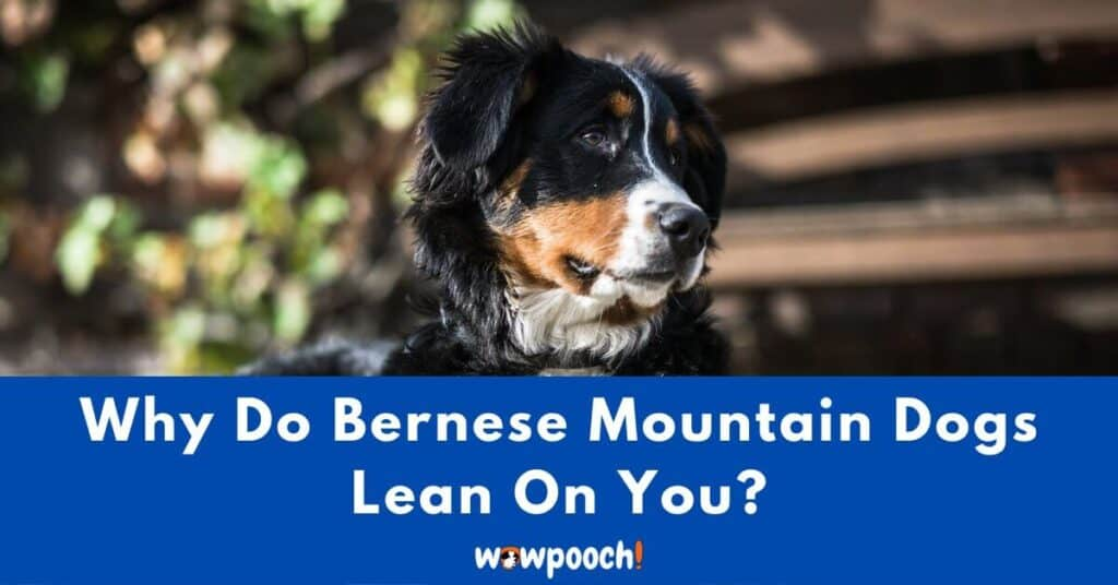 Why Do Bernese Mountain Dogs Lean On You?