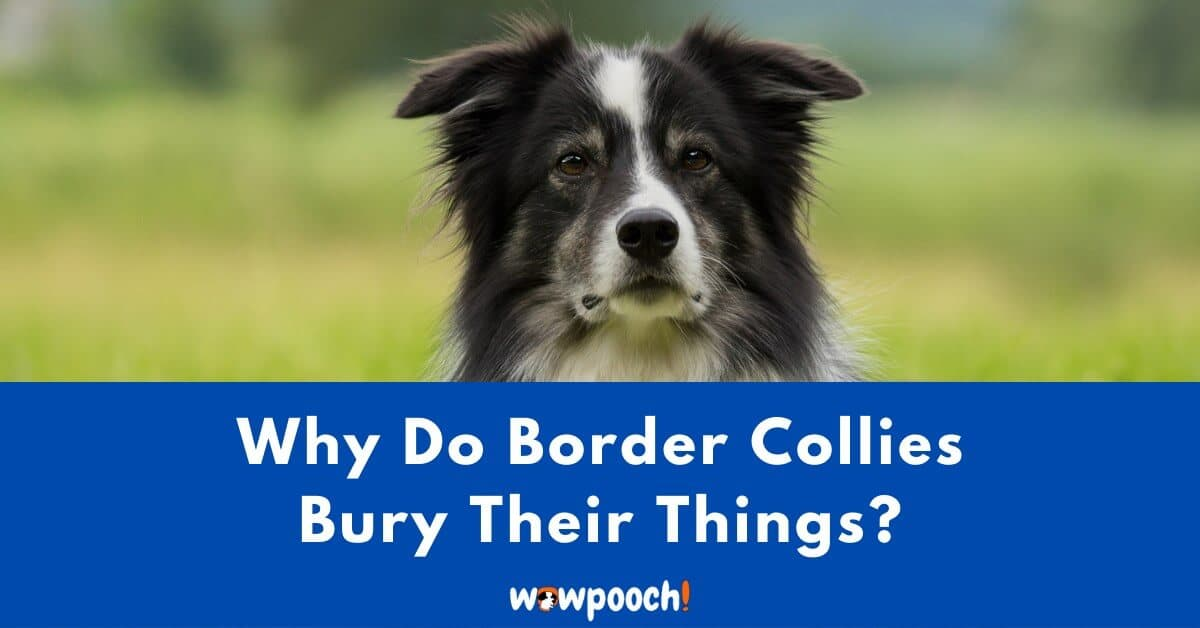Why Do Border Collies Bury Their Things?