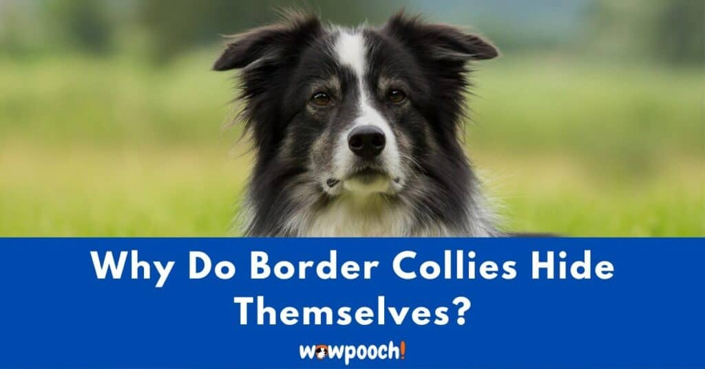 Why Do Border Collies Hide Themselves?