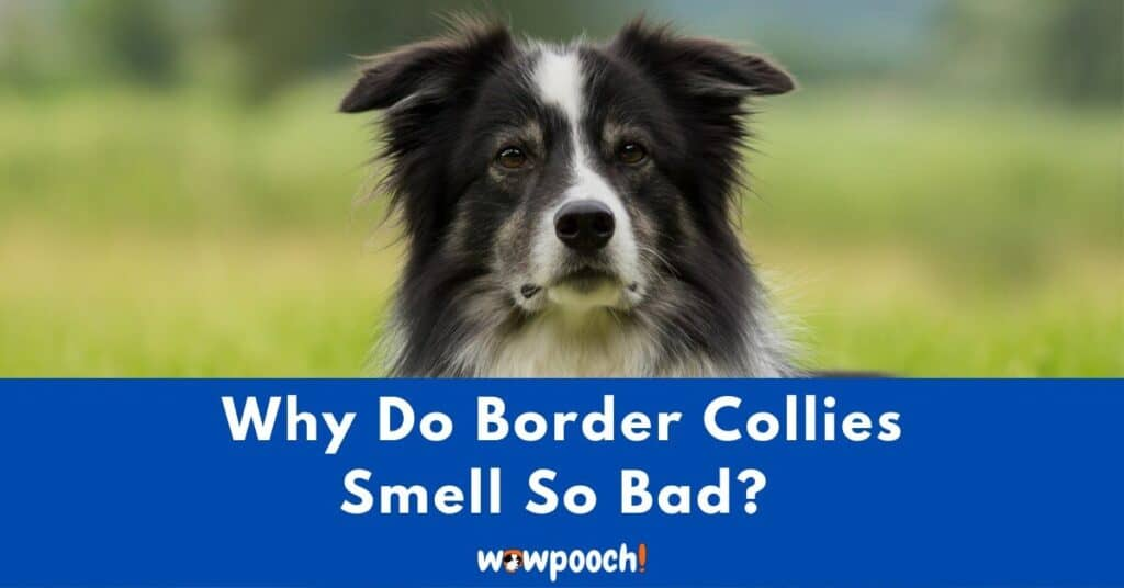 Why Do Border Collies Smell So Bad?