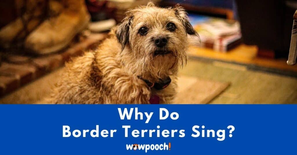 Why Do Border Terriers Sing?