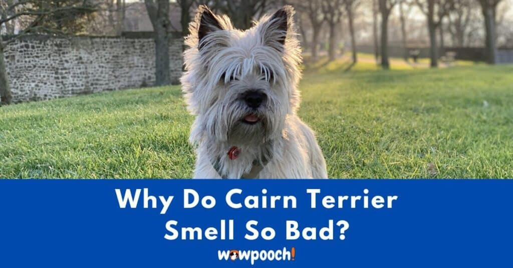 Why Do Cairn Terriers Smell So Bad?