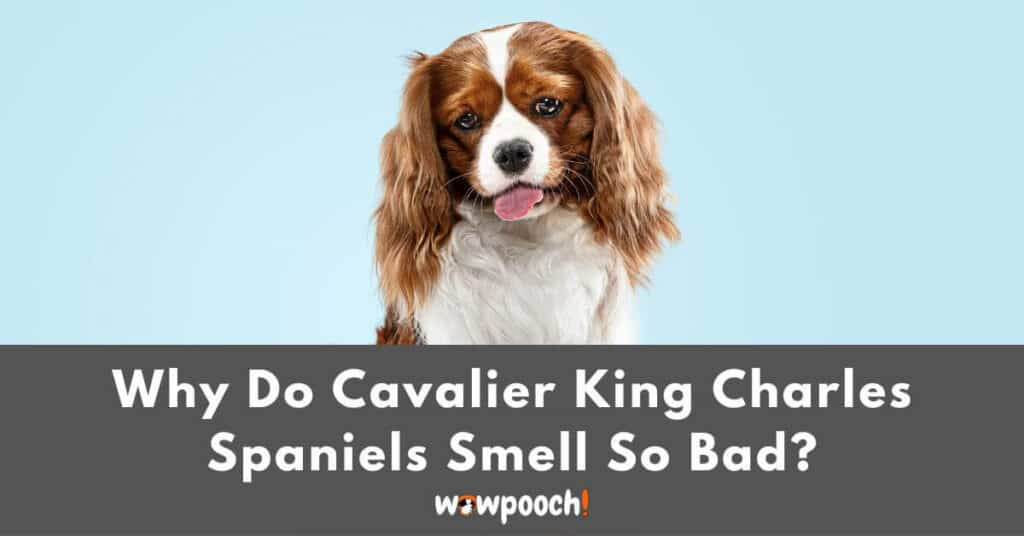 Why Do Cavalier King Charles Spaniels Smell So Bad?