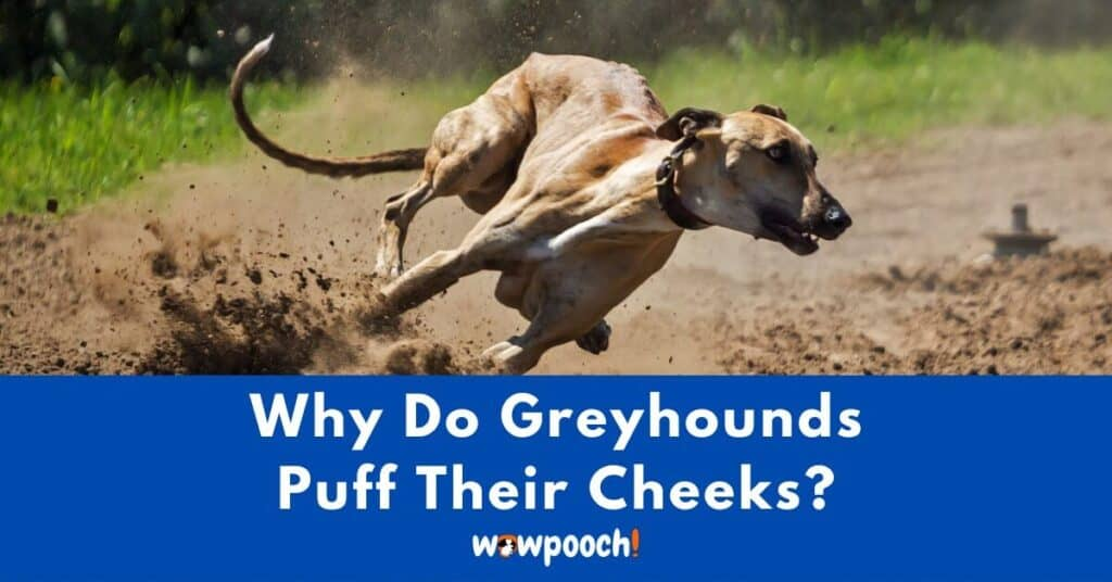 Why Do Greyhounds Puff Their Cheeks?