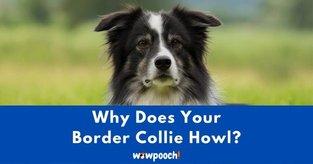 Why Does Your Border Collie Howl?