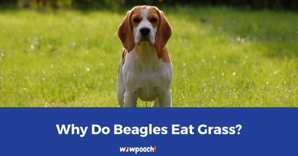 Why Your Beagle May Eat Grass
