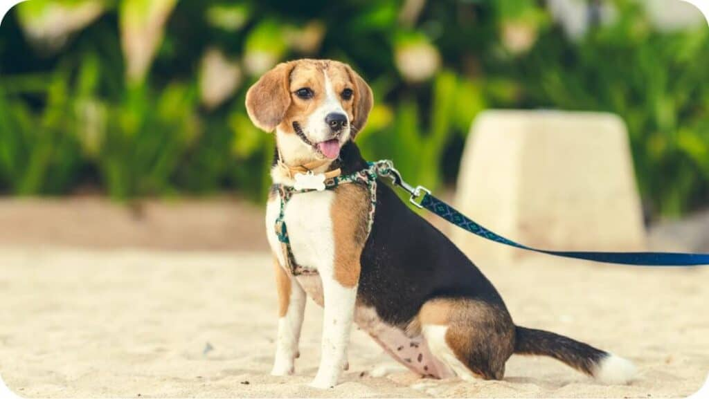 Beagle With Harness